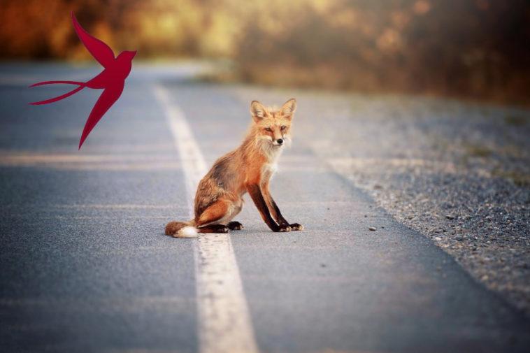 голодные лисы выходят из горящих лесов